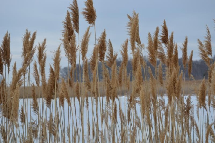 Phragmites australis, the European Common Reed, in front of a frozen pond.