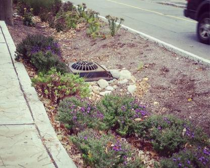 Hardy perrenial species grow in a ditch designed to slow down stormwater runnoff next to a busy residential street.